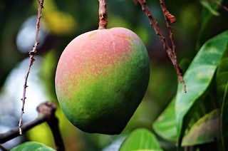 Mango : Nutrition and Benefits