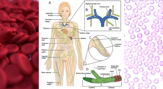 Immunity and The Immune System_What makes the immune system?